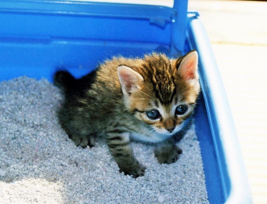 子猫のトイレトレーニング覚えておきたい5つのポイント モフマガ By