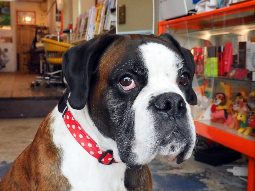 Image result for 犬 boxer 子供たちと