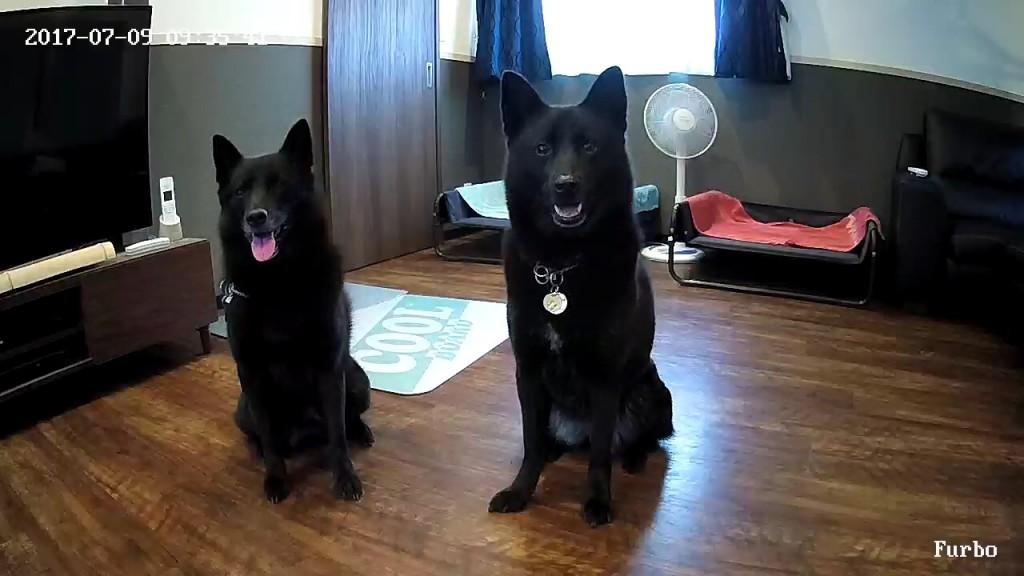 Furbo(ファーボ)で見守る犬の留守番【1】甲斐犬の風花&華瑠美編のメインイメージ