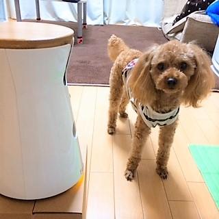 Furbo(ファーボ)で見守る犬の留守番【2】トイ・プードルのもこ編のメインイメージ